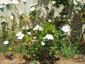 Flores Miudinhas, 2009.JPG