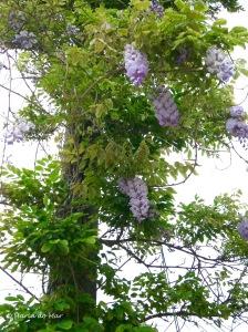Árvore-Cachos de Primavera, 2012
