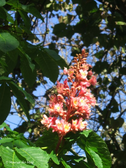 Flores, Cacho Ascendente, 2013