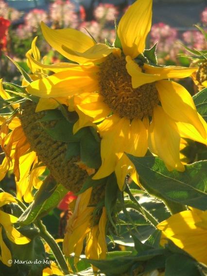 Flores - Girassóis