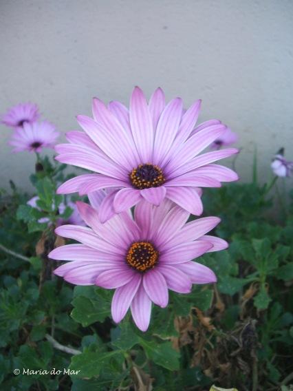 Flores acasaladas, 2014