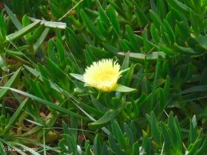 Flor de Chorão Amarela, 2011