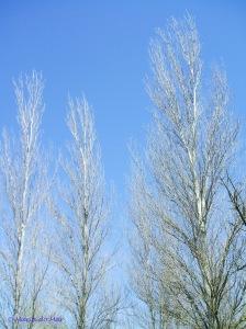 Árvores de Prata, 2011