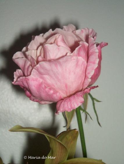 Rosa-Pálida do Quintal 2016